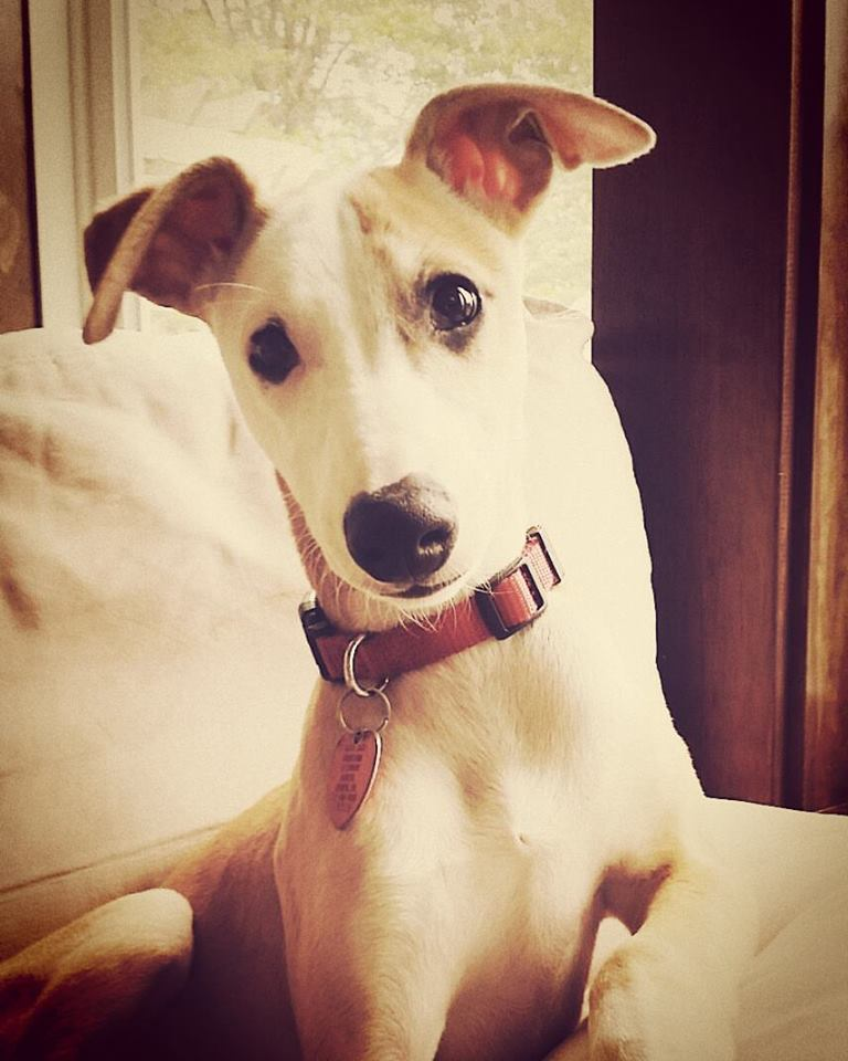 Any Whippet owners out there??-13269252_10210047693693166_5244490150897903294_n.jpg