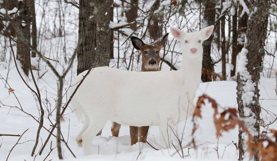 Best deer picture EVER-albno.png