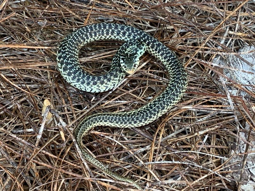 Name this Snake?-b5035872_d2b5_47f6_8247_c8eb53e081ae_ac46b150beb6a62a766a9760a4f7c9f1215cb16c.jpeg