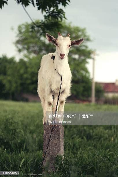 New garden, but first...-goat.jpg