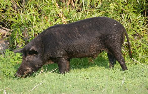 Post Pics of your radios; Ham, SW, CB, etc-hog-hunting-information-about-hogs-01.jpg