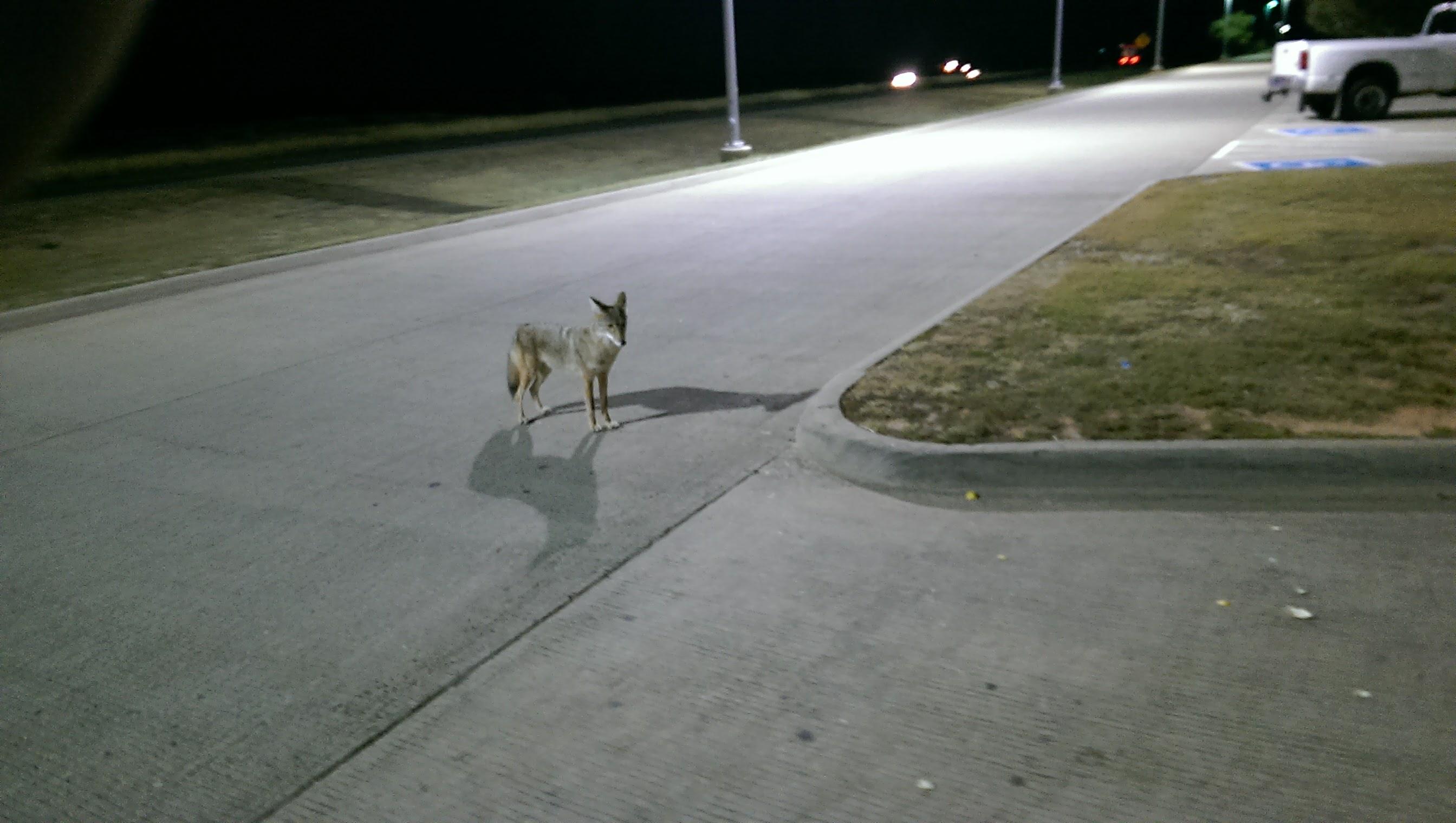 Coyote, have crossed the road-imag0210.jpg
