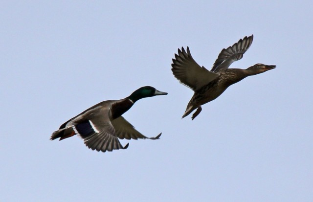 I Say The Hell Will The NFL-pair-quacks.jpg