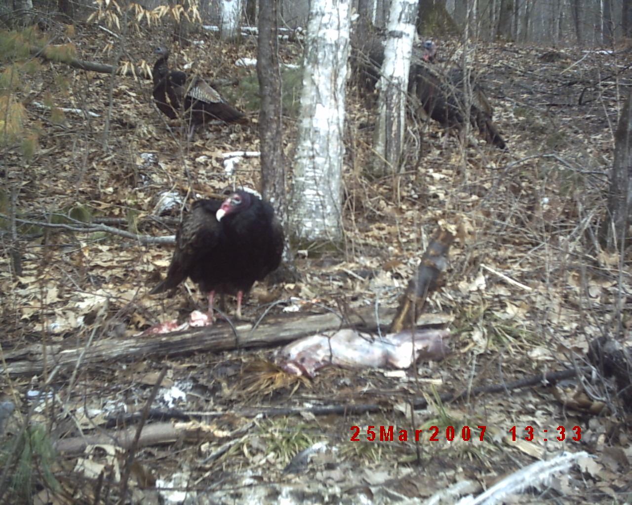 Spring Gobbler-turkeys-.jpg