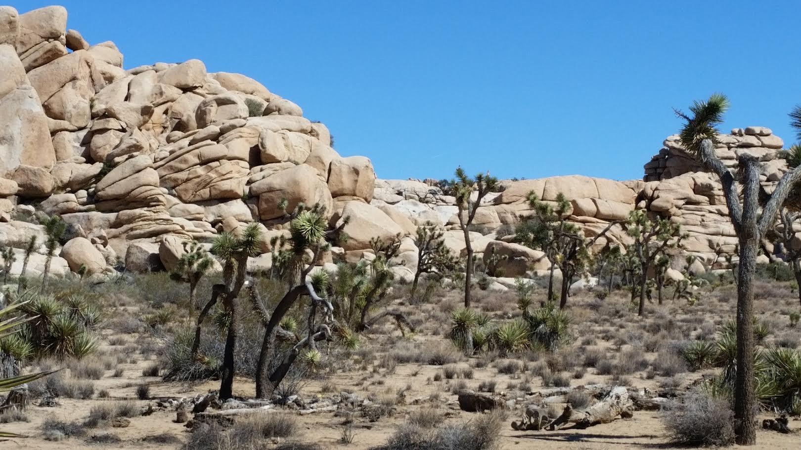 California History (Joshua Tree)-unnamed-3-.jpg