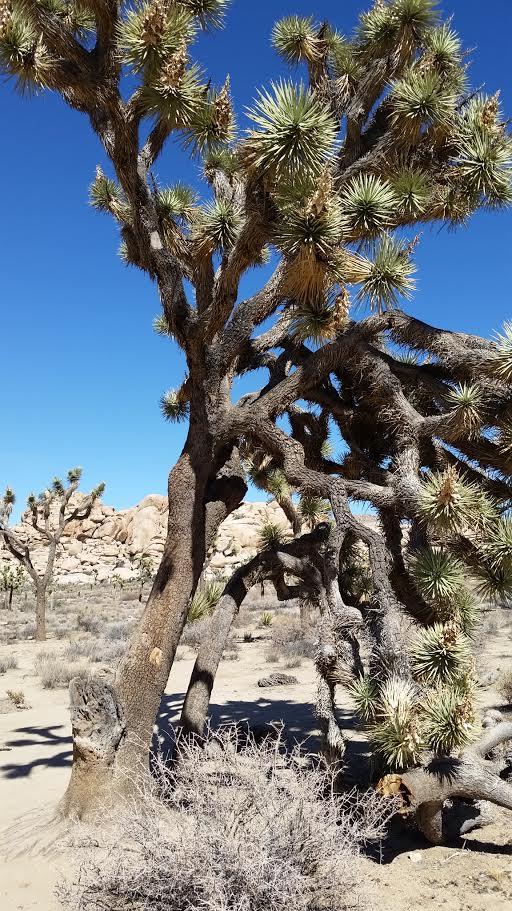 California History (Joshua Tree)-unnamed-4-.jpg