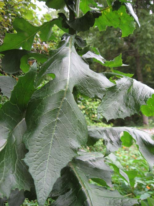Weed Every Prepper Should Know About-wild-lettuce-leaf-2.jpg