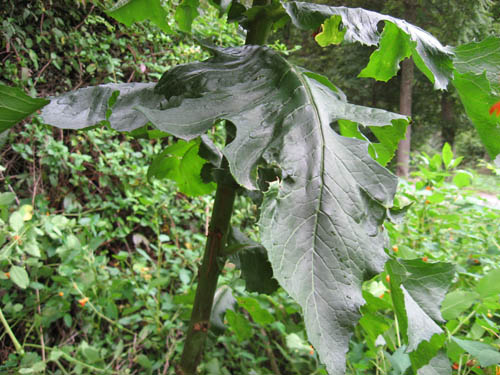 Name:  Wild Lettuce Leaf.jpg Views: 95 Size:  104.8 KB