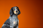 Blue Tick Coonhound Smokey X.png