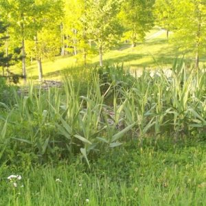 Wild cane for wildlife landscaping - Wild cane growing for natural wildlife landscaping